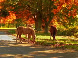 Horses grazing in the fall